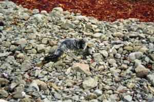 Kleine Robbe