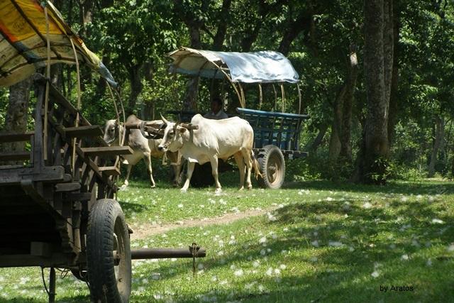Ochsenkarren im Chitwan Nationalpark