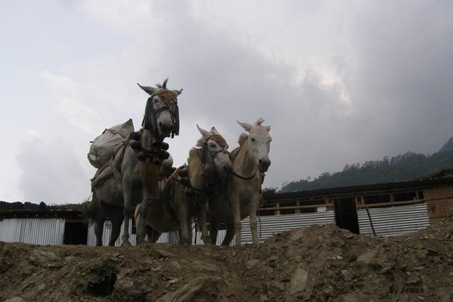 Maultiere im Himalaya