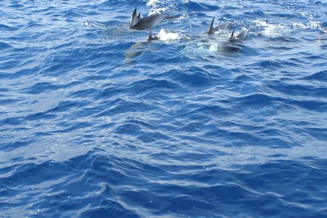 Delfine vor den Azoren