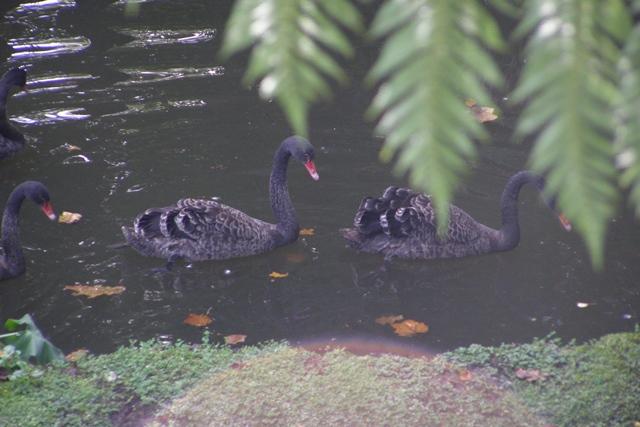 Schwarze Schwäne im Botanischen Garten