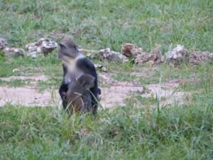 Affen im Temple Point Resort