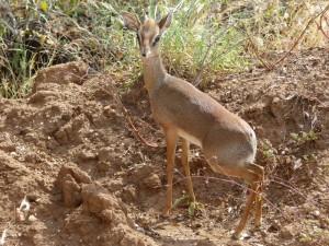Dikdik Antilope
