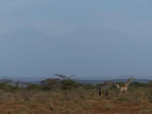 Giraffen vor dem Kilimanjaro