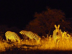 Zebras bei Nacht im Camp