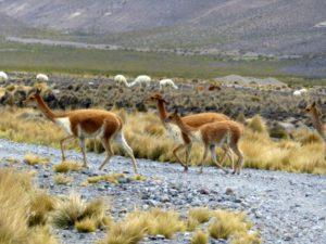 Vicuñas und Alpakas im Hochland