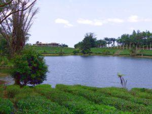 Bois Cheri Teeplantage